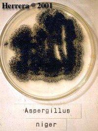 Aspergillus_niger_1.jpg