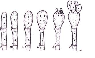 formação basidiosporo.png