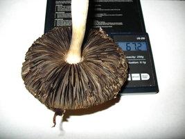 67 gm - 1 shroom.jpg